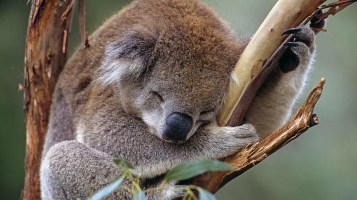 eucalyptus-koala-les-koalas-famille-oursons-arbre