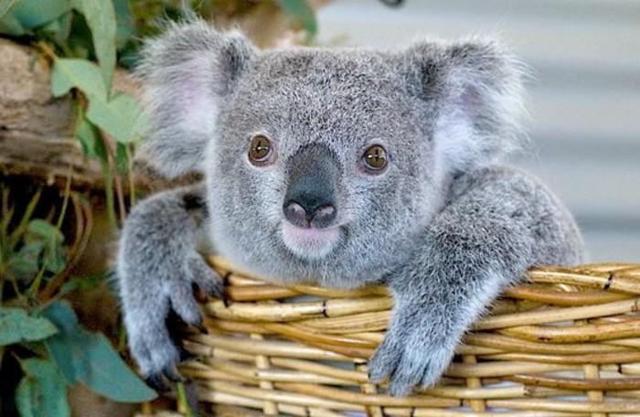 eucalyptus-koala-les-koalas-famille-oursons-basket