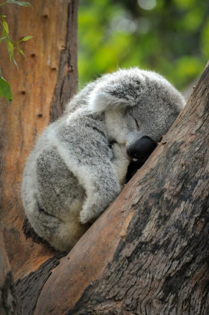 femelle-de-koala-beau-animal-ourse-mignonne