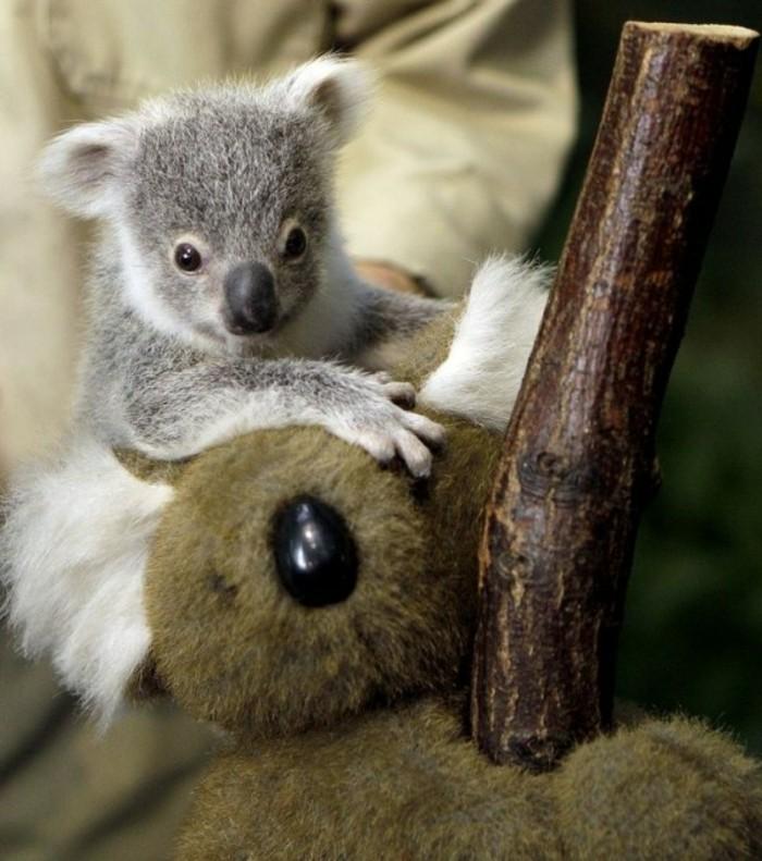 femelle-du-koala-beau-animal-ourse-en-peluche