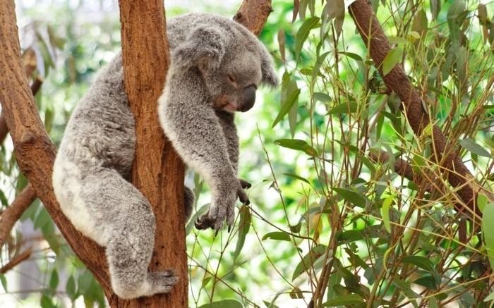 femelle-du-koala-beau-animal-ourse-endormi-sur-arbre
