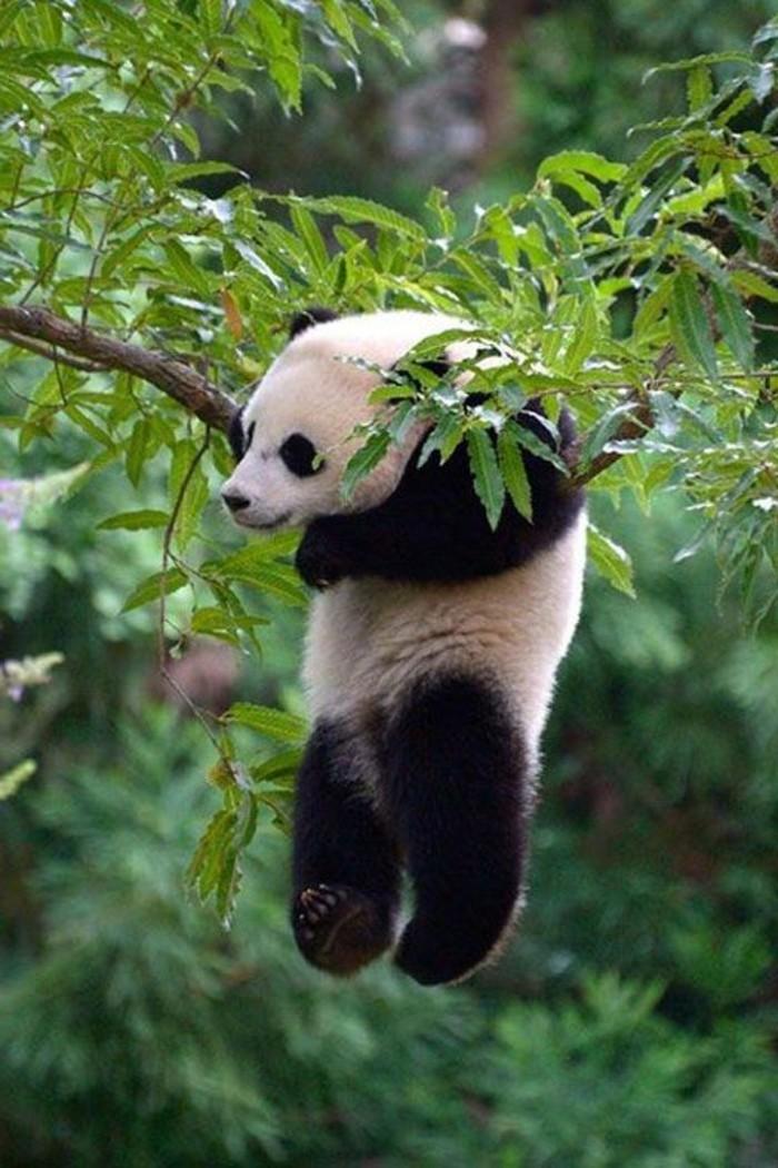 formidable-panda-geant-mignon-en-image-arbre