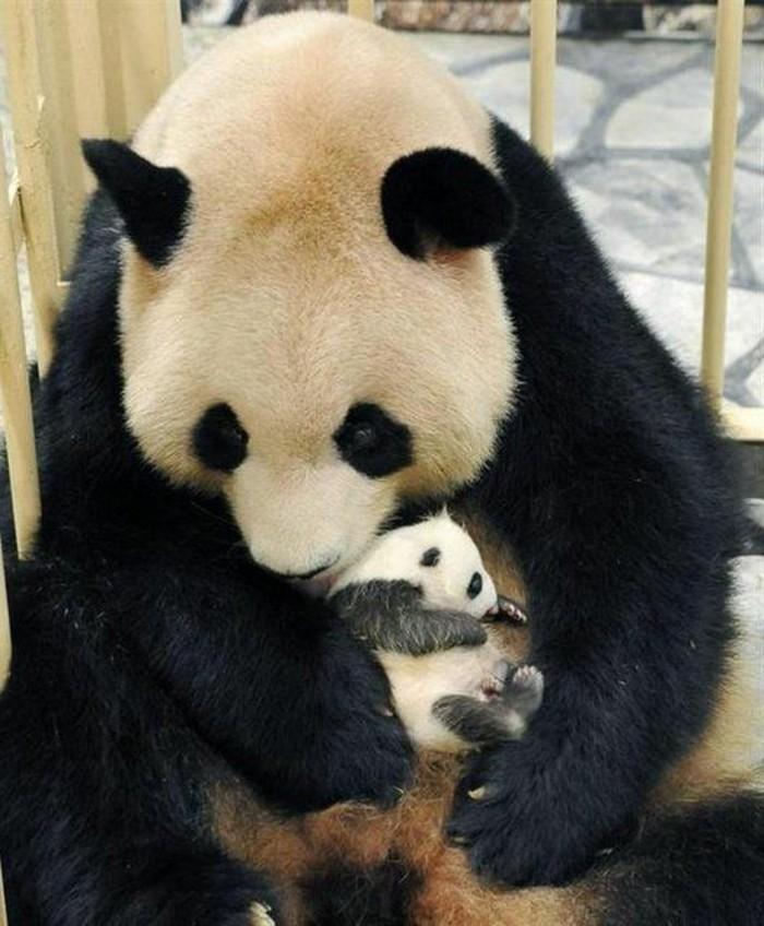formidable-panda-geant-mignon-en-image-cool-photo