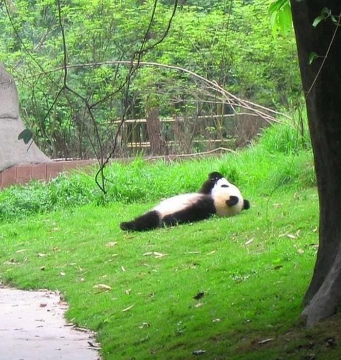 formidable-panda-geant-mignon-en-image-dormir