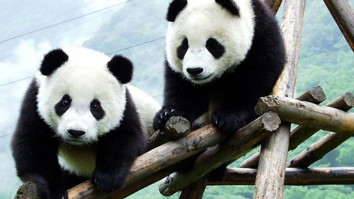 formidable-panda-geant-mignon-en-image-jouer