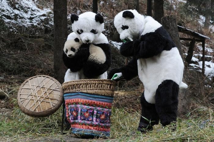 formidable-panda-geant-mignon-en-image-le-bébé