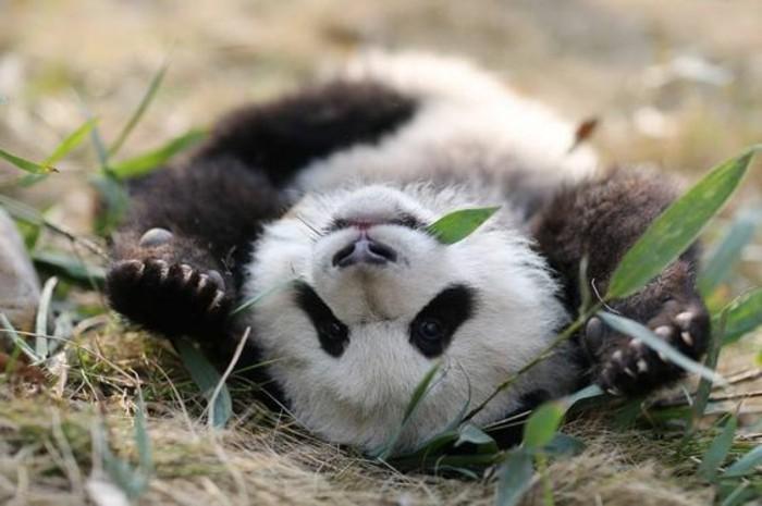 image-mignonne-de-panda-en-france-1-chambre-bébé-panda