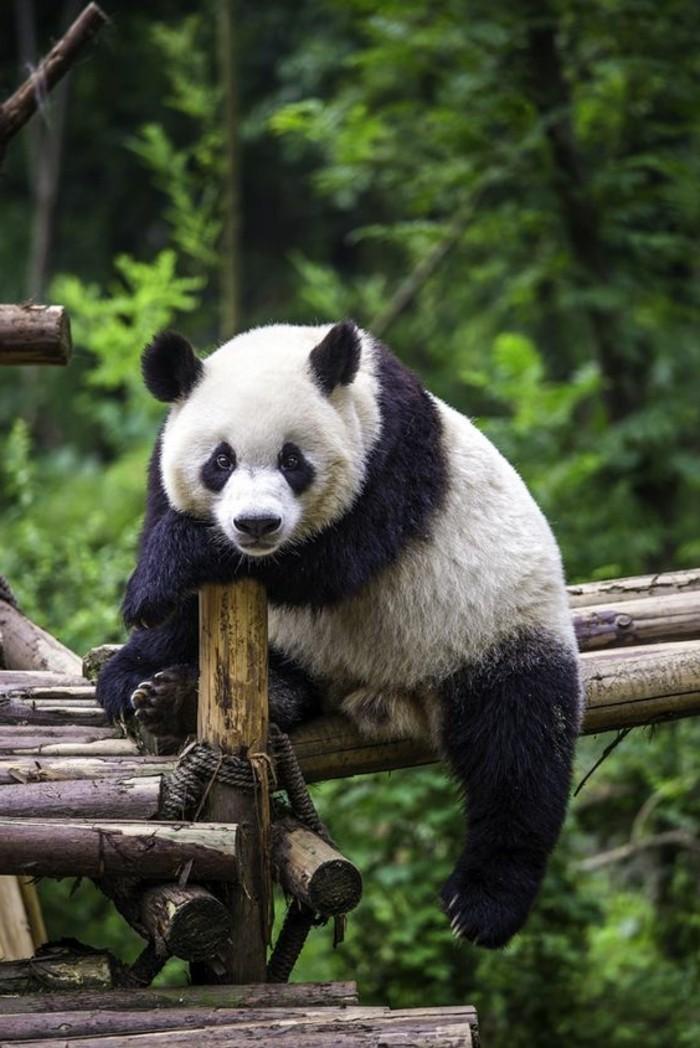 image-mignonne-de-panda-en-france-adorable