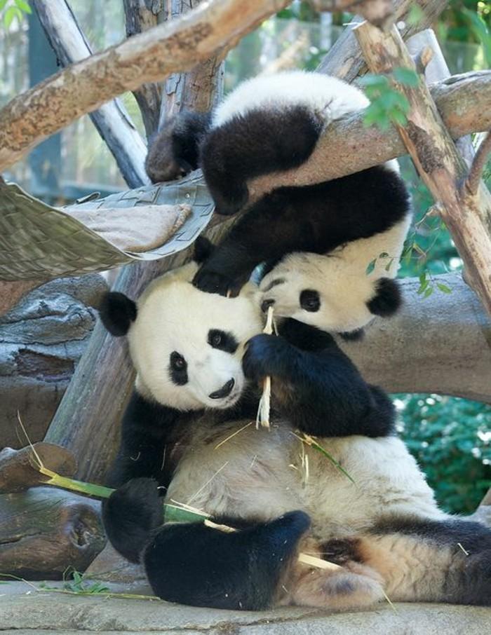 image-mignonne-de-panda-en-france-blanc-et-noir