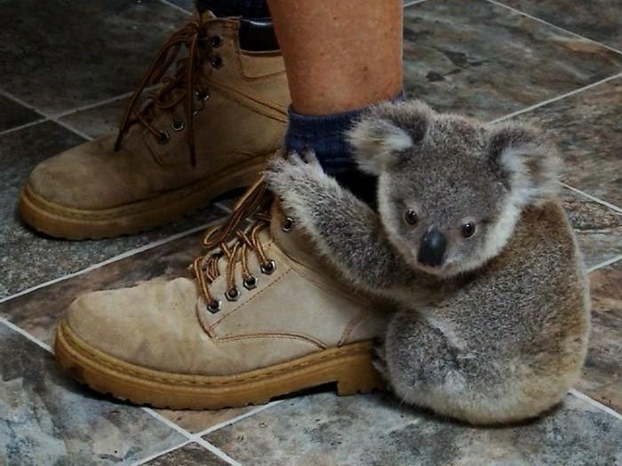 Les Meilleures Photos Et Videos De Bebe Koala Archzine Fr