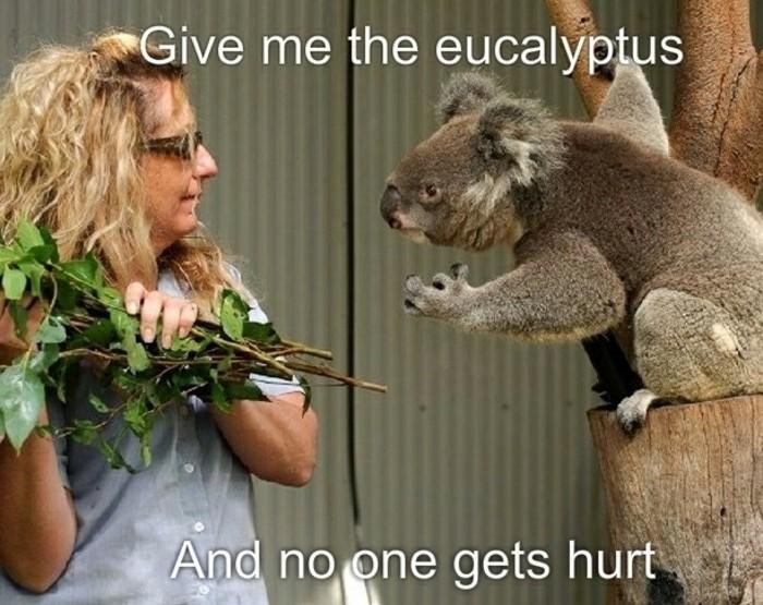 koala-eucalyptus-nourriture-du-koala-amusement