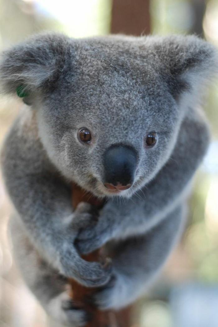 koala-eucalyptus-nourriture-du-koala-bébé