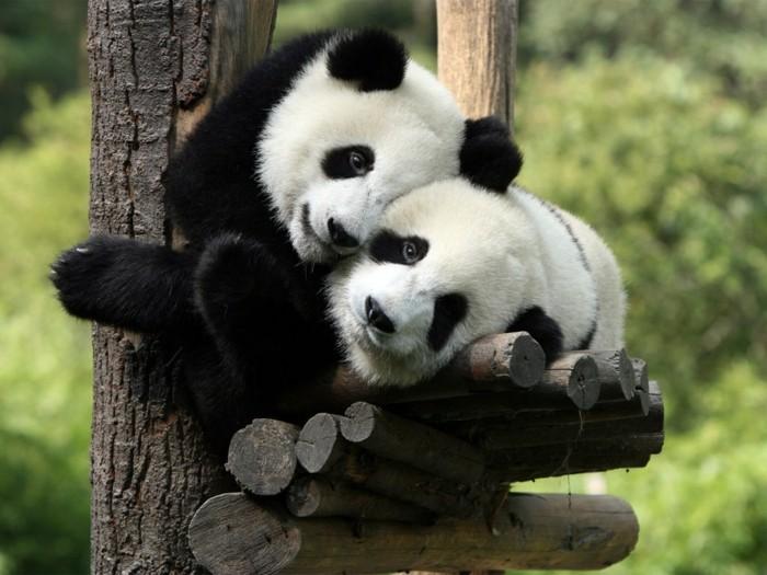 la-beauté-de-panda-animal-sauvage-cool-adorable