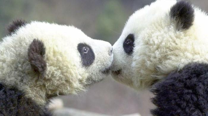 la-beauté-de-panda-animal-sauvage-cool