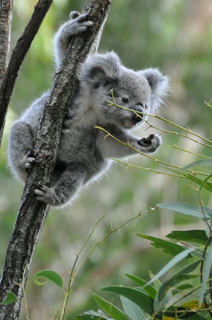 la-koala-australie-nature-beauté-des-animaux-arbre