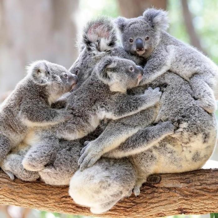 la-koala-australie-nature-beauté-des-animaux-quelques