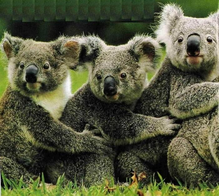 la-koala-australie-nature-beauté-des-animaux-trois-amis
