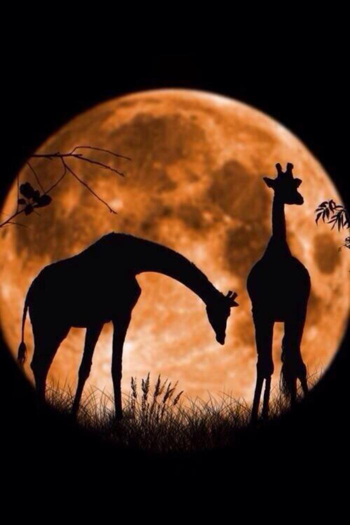 la-pleine-lune-deux-girafes-et-la-lune-géante
