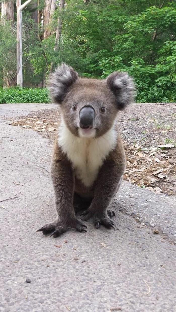 le-mignon-image-femelle-koala-image-jolie-photo-de-koala-nourriture-bébé-animaux