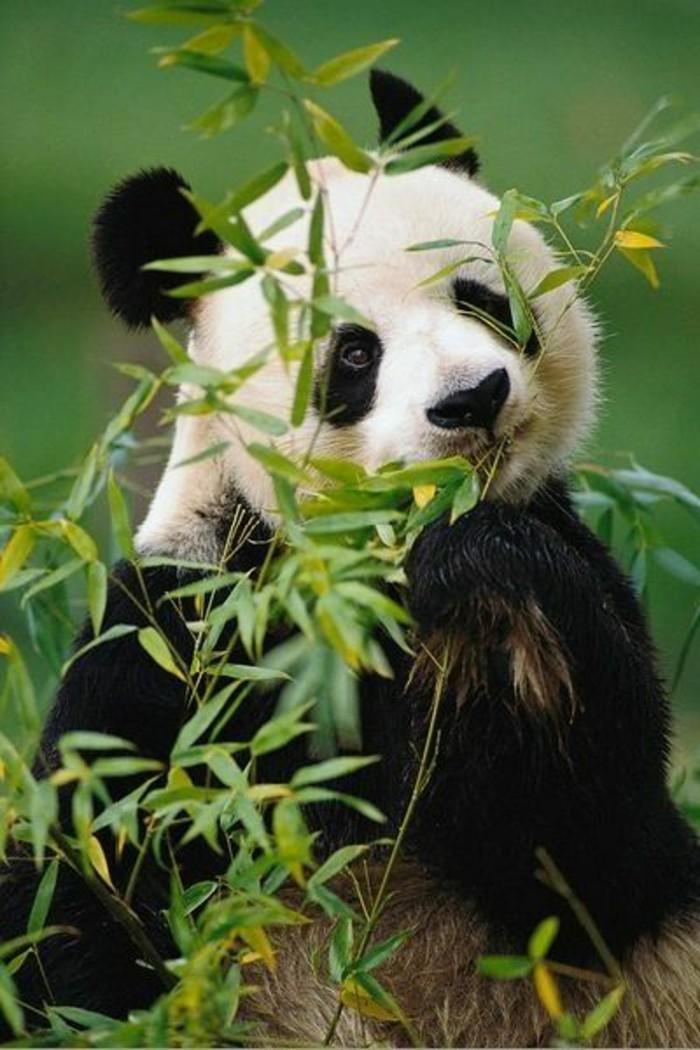 le-panda-géant-mignon-les-pandas-géants-eucalipt