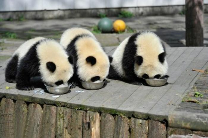 le-panda-géant-mignon-les-pandas-géants-mangant