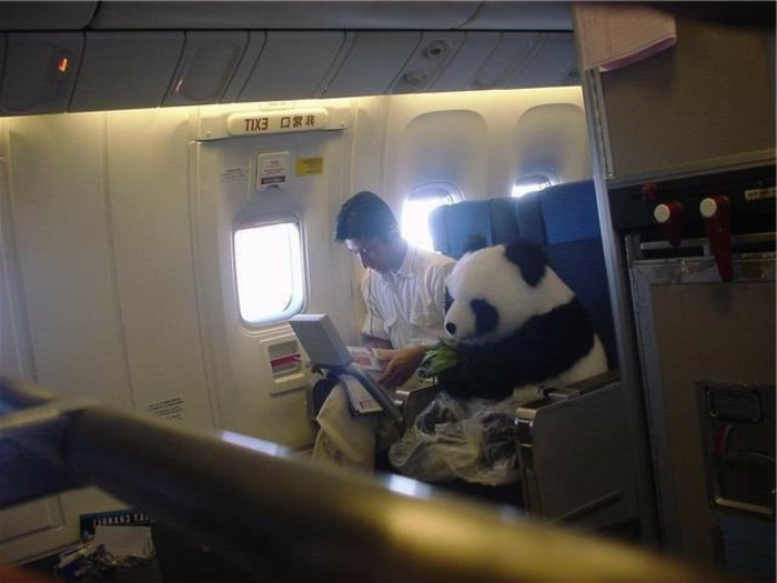 merveilleuse-image-panda-bebe-animaux-avion