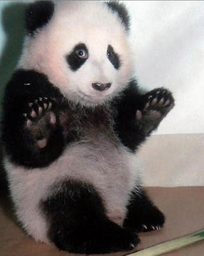 merveilleuse-image-panda-bebe-animaux-je-ne-sais-pas