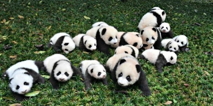 Le b b panda pouvez vous choisir le plus mignon - Image bebe animaux ...