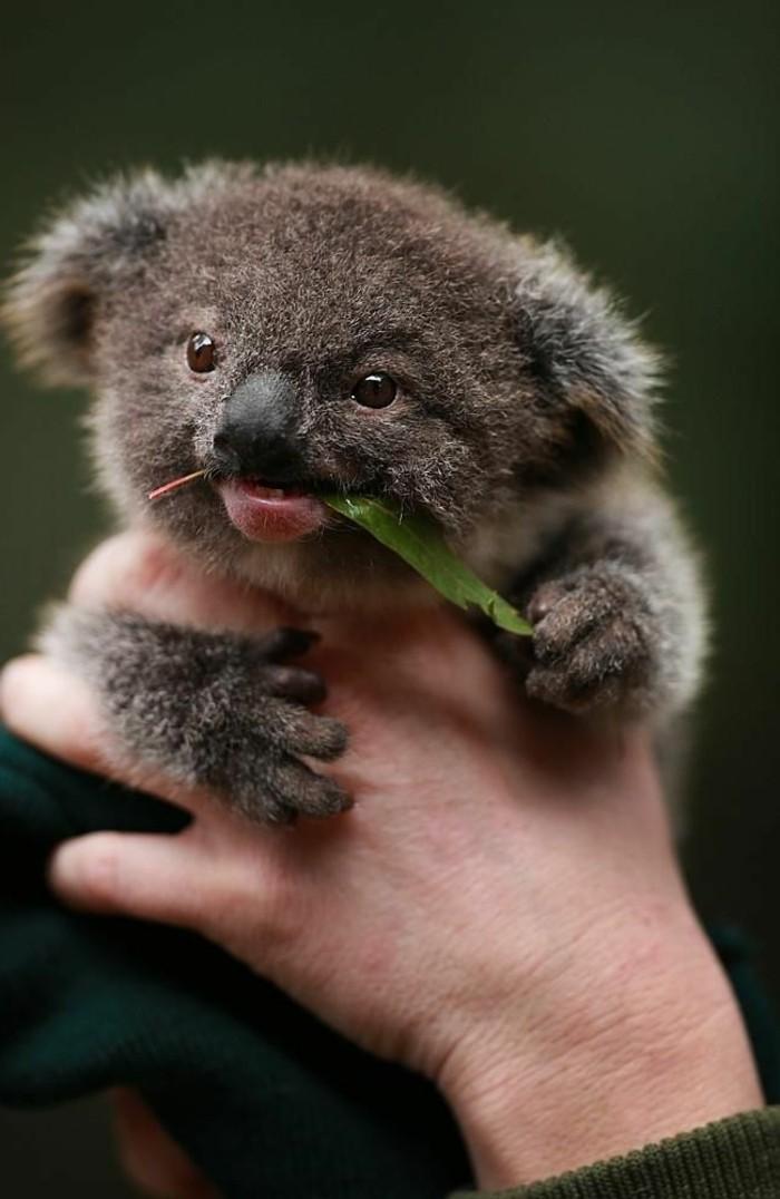 Les meilleures photos et vid os de b b koala - Image des mignon ...