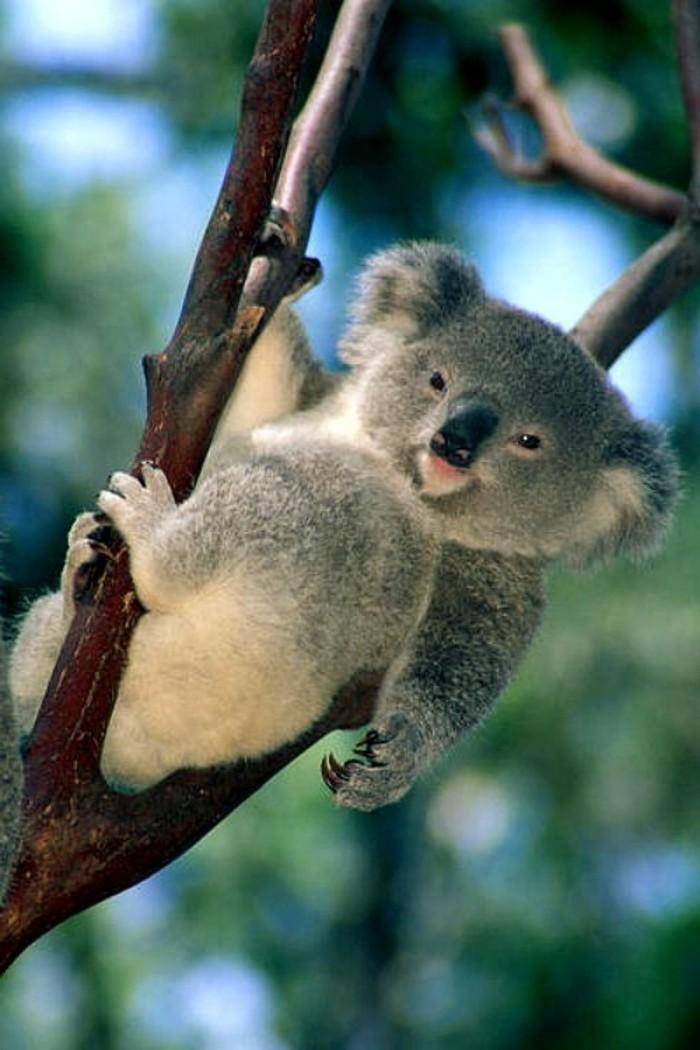 merveilleuse-photo-que-mange-les-koala-bébé-les-koala-image-mignon
