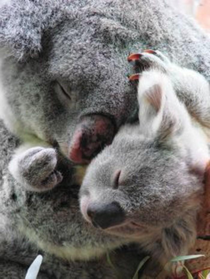merveilleuse-photo-que-mange-les-koala-bébé