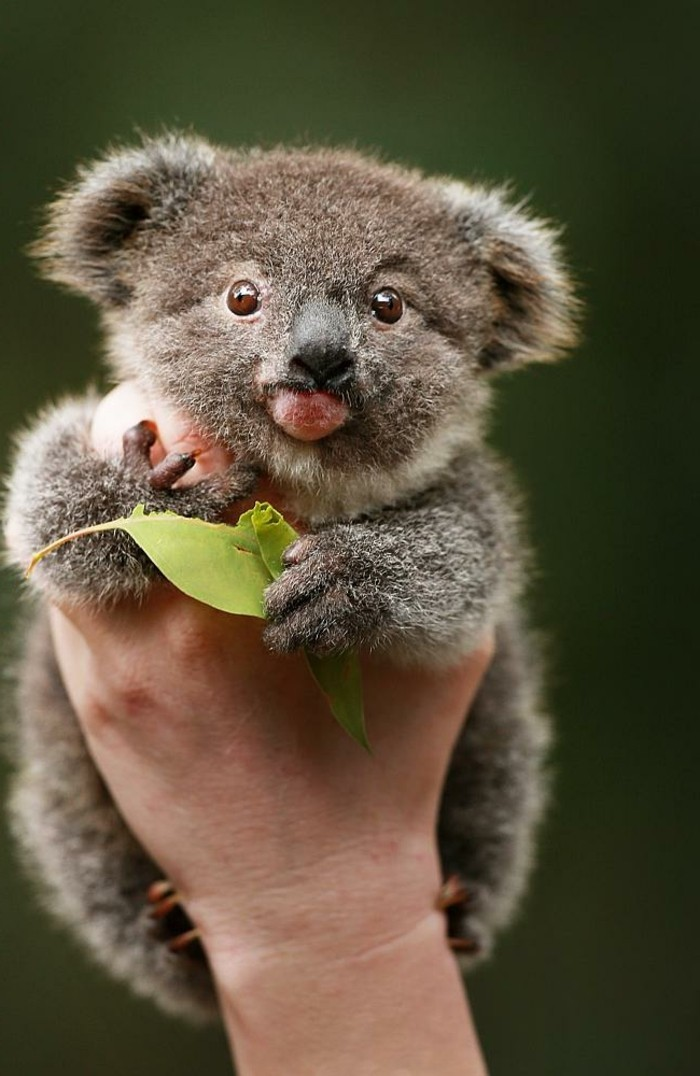 merveilleuse-photo-que-mange-les-koala-beaute