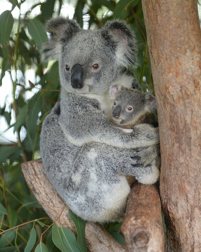 merveilleuse-photo-que-mange-les-koala-maman-et-bebe