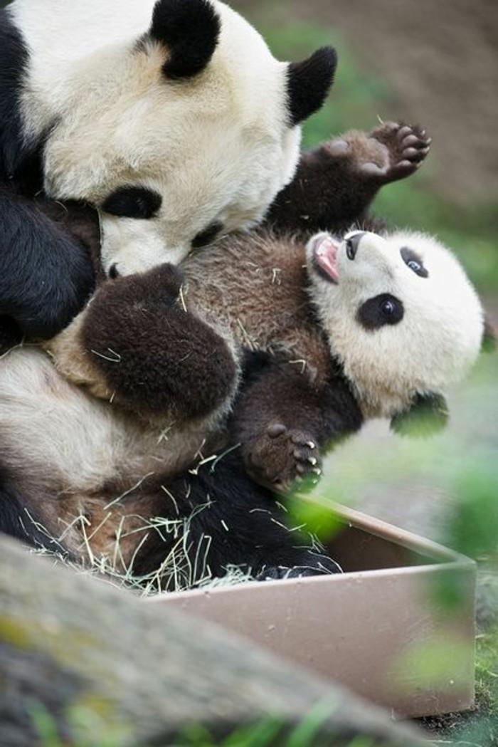 mignonne-photo-le-panda-geant-nature-amour