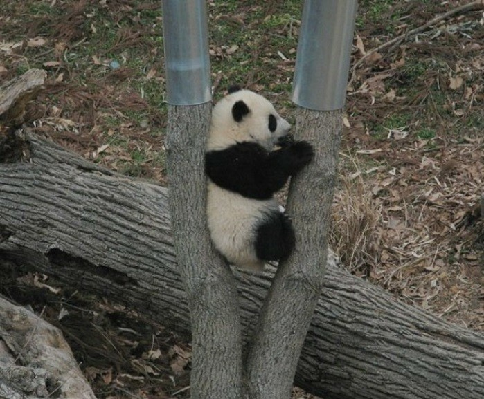 mignonne-photo-le-panda-geant-nature-les-arbres