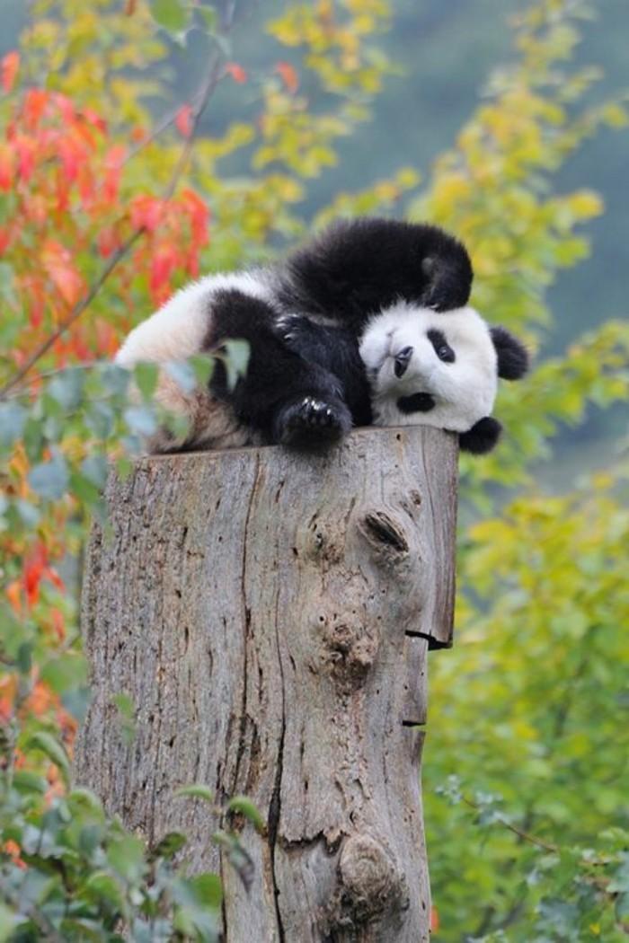 mignonne-photo-le-panda-geant-nature-photo-nature