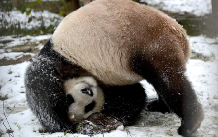 mignonne-photo-le-panda-geant-nature