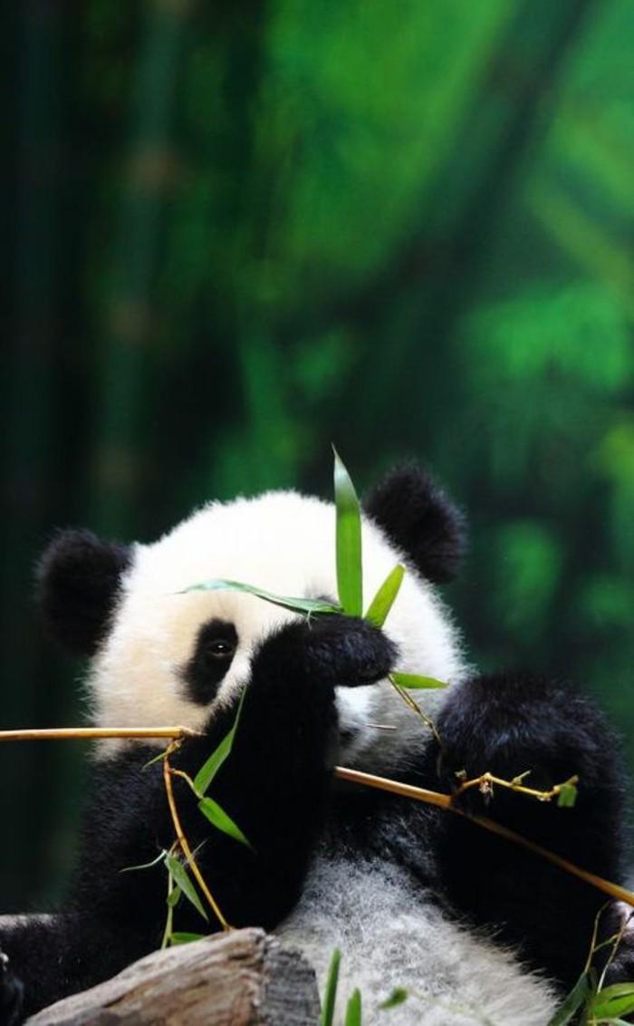 nom-du-bébé-panda-image-jolie-d-animal-amour