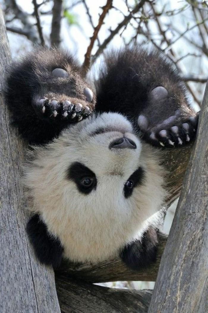 nom-du-bébé-panda-image-jolie-d-animal-cool