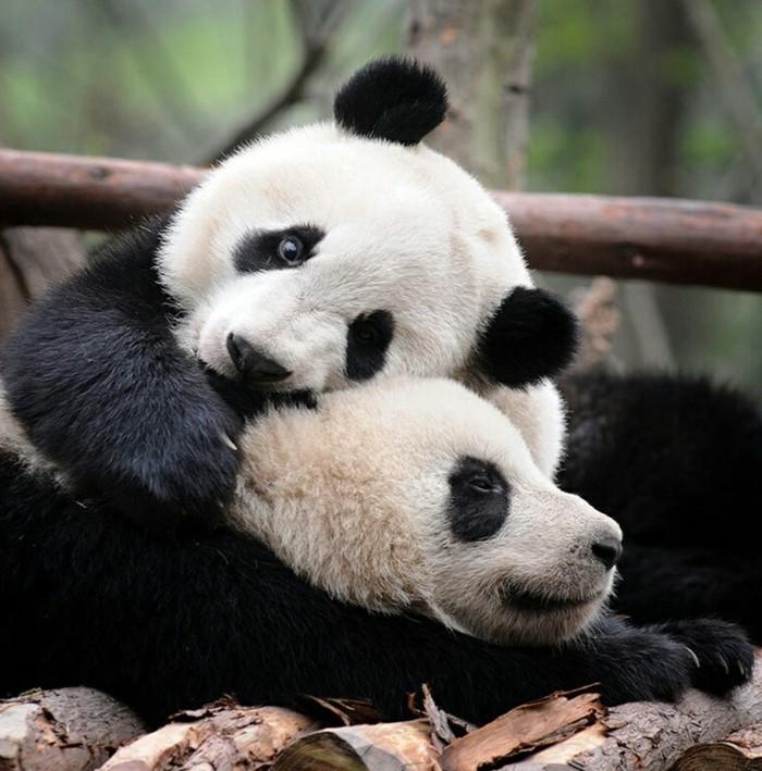 panda-roux-bebe-panda-belle-image