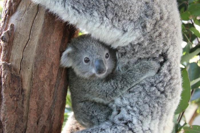 photo-de-koala-nourriture-bébé-animaux-bébé-koala