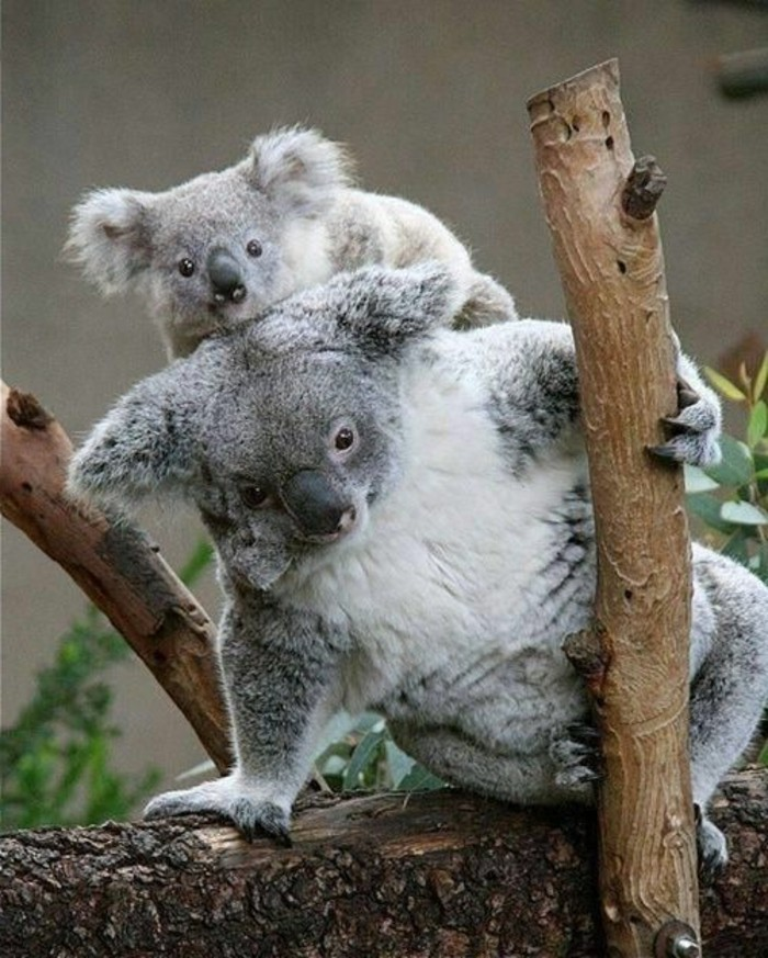 photo-de-koala-nourriture-bébé-animaux-cool