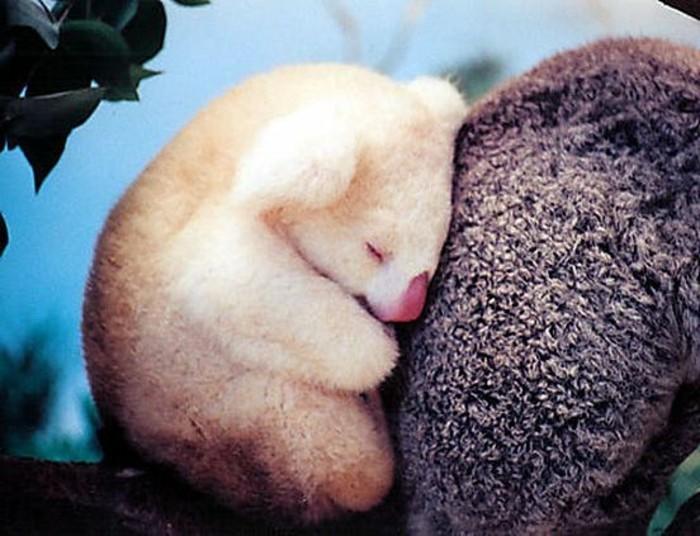 que-mange-le-koala-mignonne-image-albino