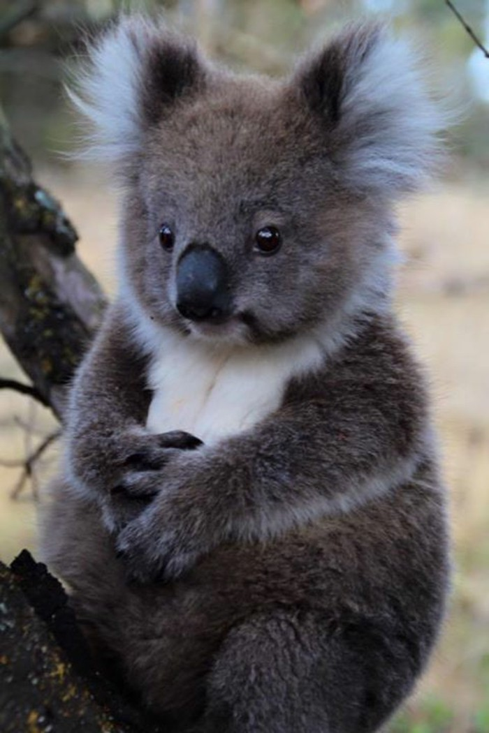 que-mange-le-koala-mignonne-image-bébé-koala