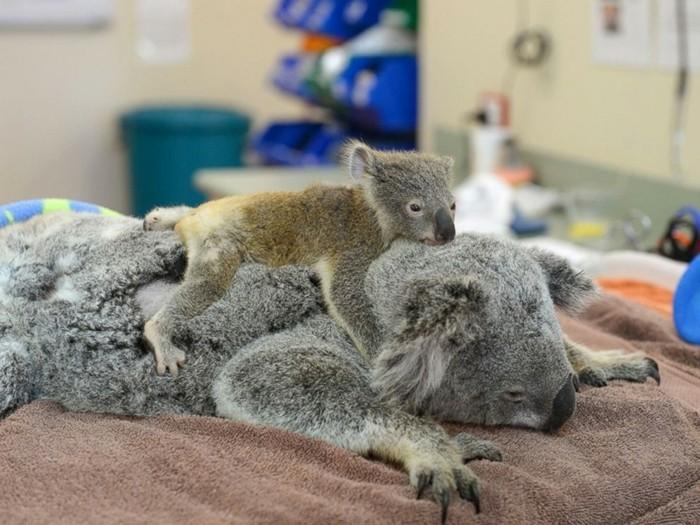 question-ou-vit-le-koala-image-chouette-animaux