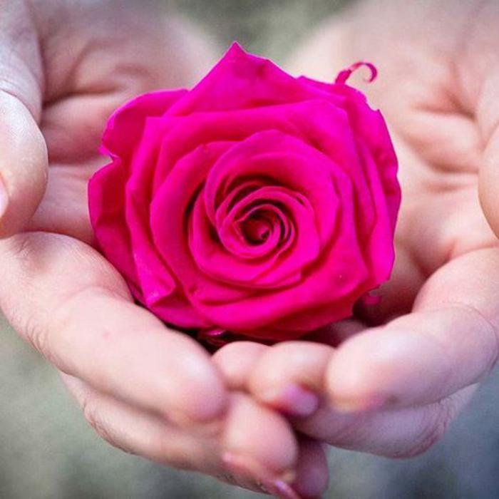 rose-stabilisée-fuschia-jolie-fleur-immortalisée
