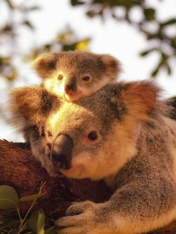 superbe-image-que-mange-un-koala-bébé-koala-au-coucher-de-soleil