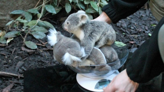 superbe-image-que-mange-un-koala-bébé-koala