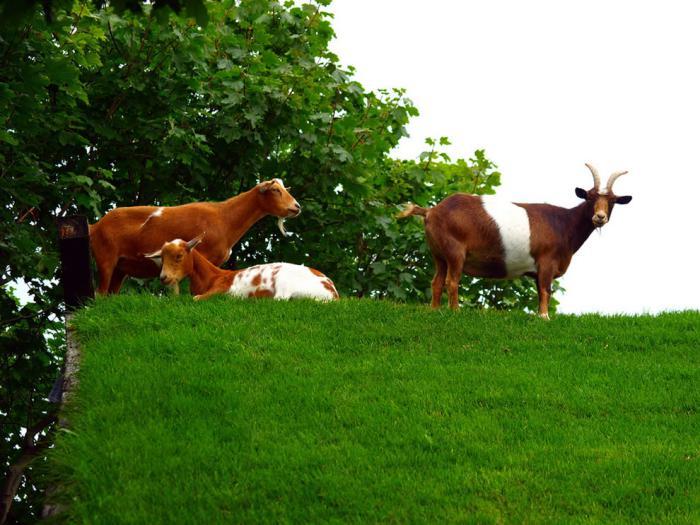 toiture-végétalisée-Wisconsin-chèvres-sur-la-toiture-verte