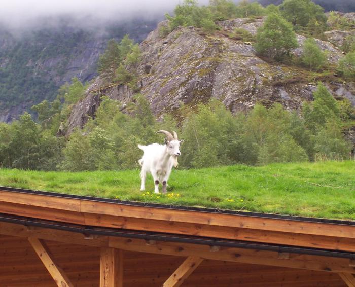 toiture-végétalisée-chèvre-blanche-sur-la-pelouse-du-toit